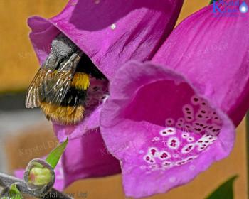 bumblebee climbing into a foxglove