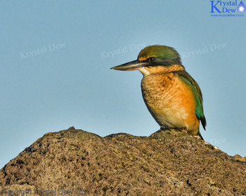 Kingfisher On The Rocks