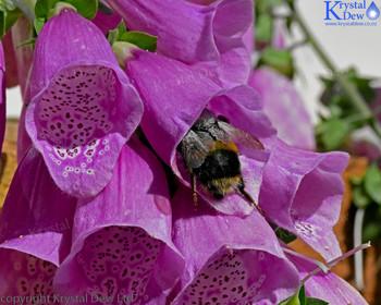 Bumblebee Climbing Up Into A Foxglove