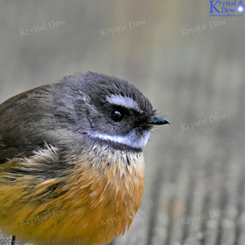 Fantail On The Decking
