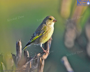 Greenfinch In The Flax
