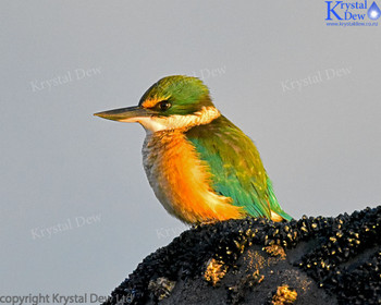 Kingfisher At The Rock Pools