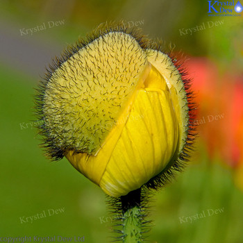 Poppy Flower Bud OPening