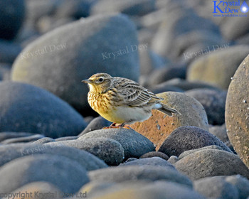 Skylark In The Rocks