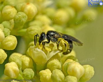 NZ Native Bee