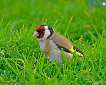 Goldfinch On The Lawn