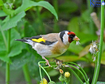 Goldfinch In The Puha