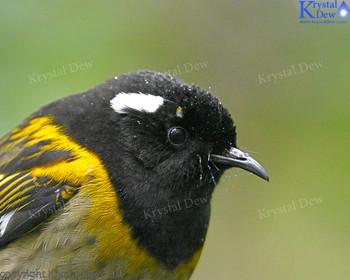 Hihi Or Stitchbird