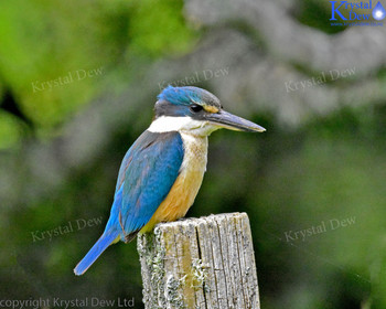 Kingfisher On Fencepost