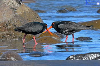 Pair Of Oystercatcher