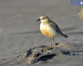 New Zealand Dotterel At Sandy Bay
