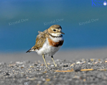 Banded  Dotterel At Sandy Bay