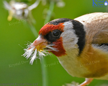Goldfinch Gathering Puha Seeds