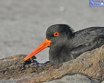 Oystercatcher At Sandy Bay