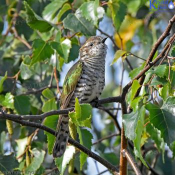 Shining Cuckoo In A Silver Birch