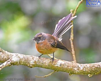 Fantail (P?wakawaka)