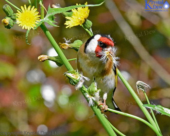 goldfinch feeding on puha seeds