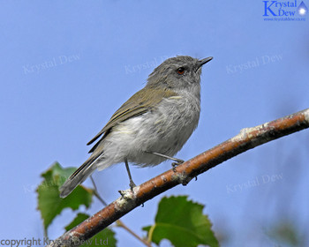 Grey Warbler In The Silver Birch
