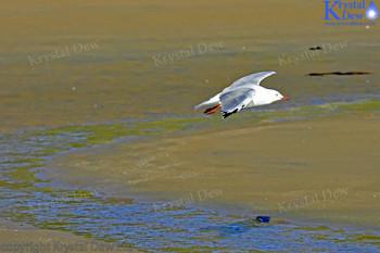 Red Billed Gull Landing