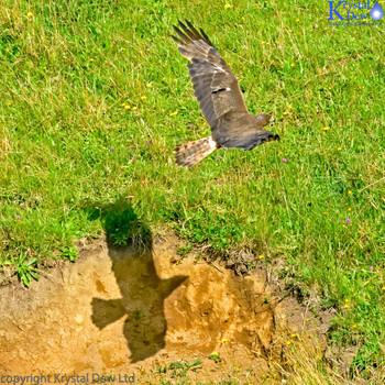Swamp Harrier In Flight