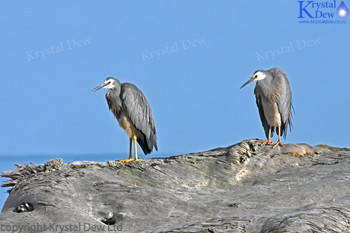 Pair of White Faced Herons at Beach