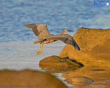 White Faced Heron Taking Off