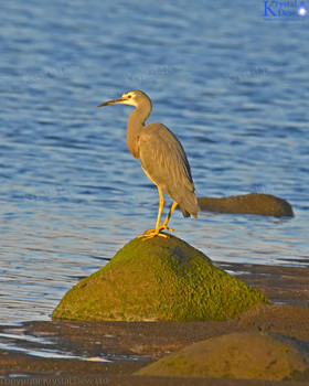 White Faced Heron On Rock