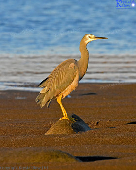 White Faced Heron At Beach