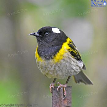 Hihi (stitchbird)