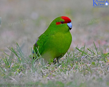 Kakariki, Red Crowned Parakeet