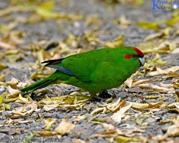 Kakariki, Red Crowned Parakeet