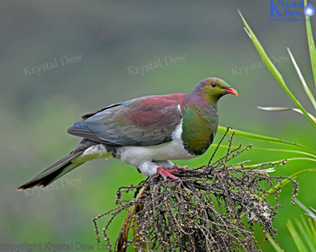 Kereru - NZ wood pigeon