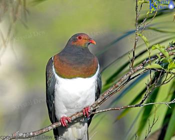 Kereru - Wood Pigeon, Glenfern Sanctuary