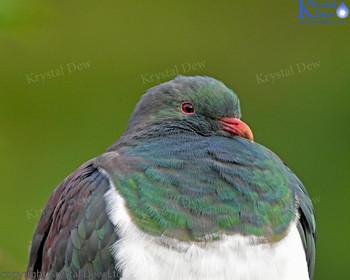 Kereru - NZ wood pigeon