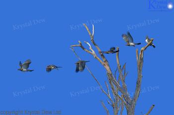 Kereru Kereru launching into flight