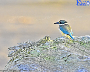 New Zealand Sacred Kingfisher On Driftwood