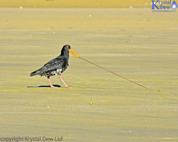 variable oystercatcher pulling up worm