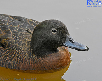 brown teal (pateke)