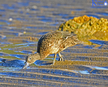 Brown teal on beach