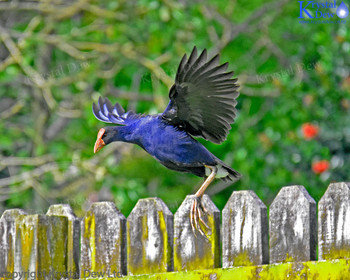 Pukeko launching from fence