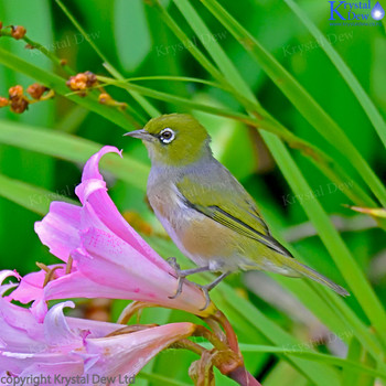 Silvereye On Flower