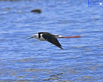 Pied Stilt flying