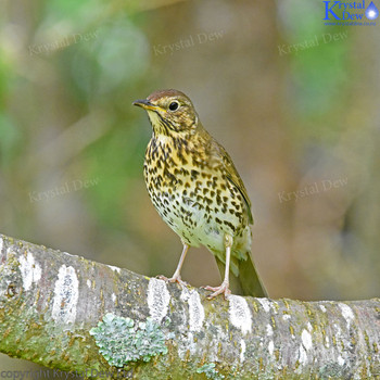 Thrush in A Tree