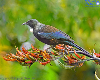 Tui In The Flax