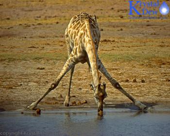 Girrafe Drinking At Water hole