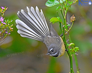 Fantail In The Roses