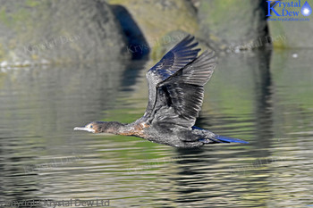 Black Shag/cormorant flying low over the water