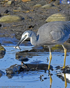 White Faced Heron WIth Fish