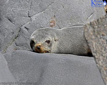 Seal Sunbathing On The Rocks