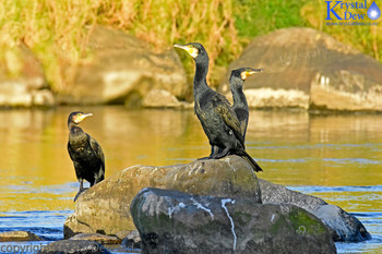 Black Shags On Rock